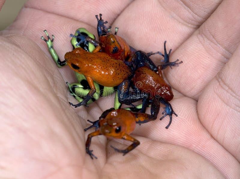 Hand full of poison dart frogs stock image