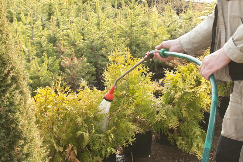 Hand garden hose with a water sprayer, watering the coniferous plants in the nursery. Hand garden hose with water sprayer, watering of coniferous plants royalty free stock images