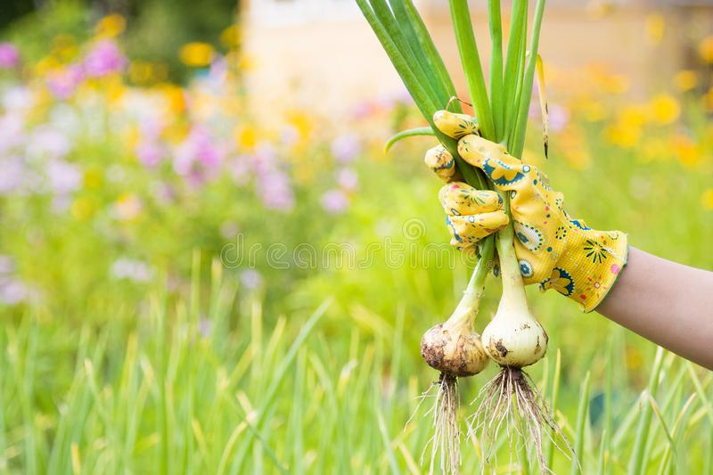 Hand of gardener with fresh harvested bulbs of onion royalty free stock photos