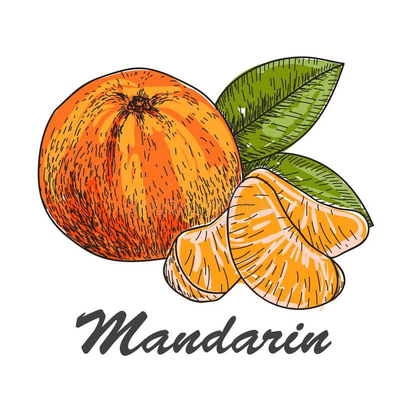 Hand - gemaakte vectorschets van mandarins in uitstekende stijl royalty-vrije illustratie