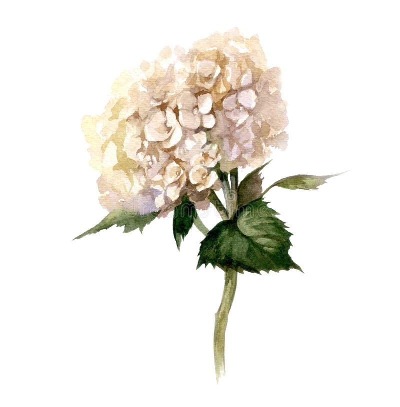 Hand geschilderde waterverfbloemen Hydrangea hortensia op witte achtergrond voor embleem vector illustratie