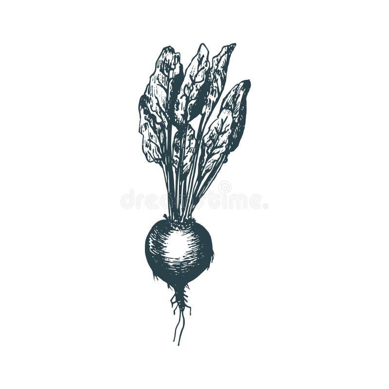 Hand getrokken biet Vectorillustratie van vegetarisch voedsel Schets van het product van de landbouwbedrijfmarkt stock illustratie