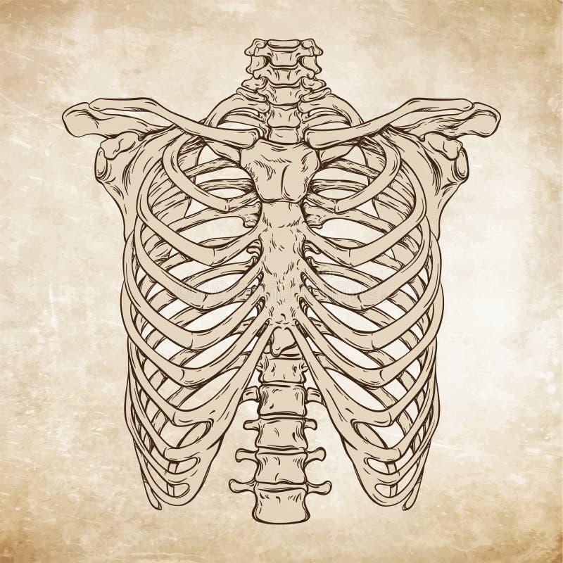 Hand getrokken correcte menselijke ribcage vectorillustratie van de lijnkunst anatomisch stock illustratie