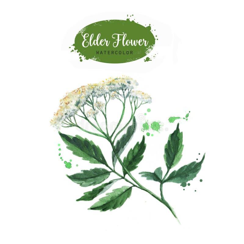Hand getrokken de takillustratie van de waterverf oudere bloem vector illustratie