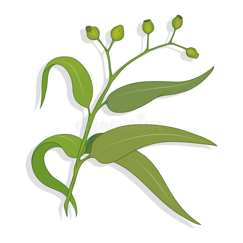 Hand getrokken eucalyptusbloem, eucalyptusbladeren, groene bladeren, medische installatie, eucalyptusboom voor logotype, vlieger, royalty-vrije illustratie