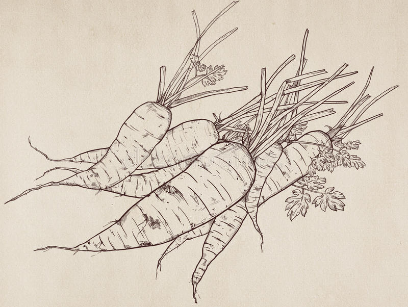 Hand getrokken illustratie van wortel royalty-vrije stock afbeelding