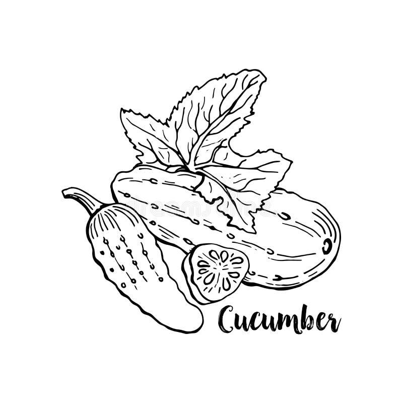 Hand getrokken komkommer Geïsoleerde Komkommergroente voor het Ontwerp van de Dankzeggingsvakantie vector illustratie