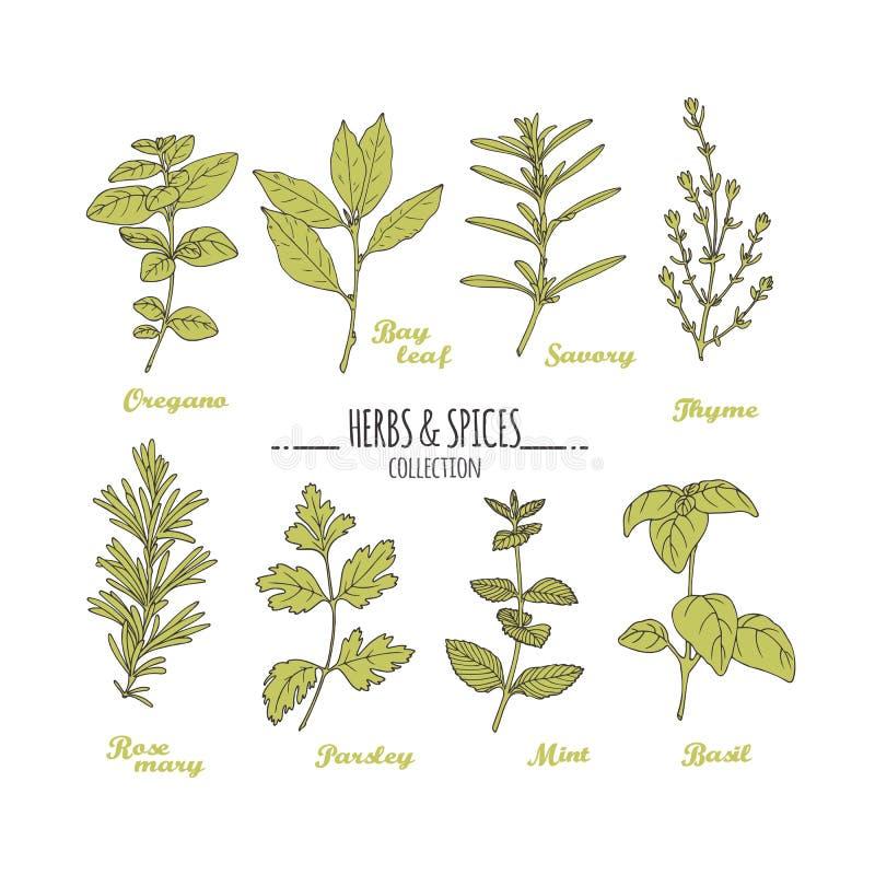 Hand getrokken kruiden en kruideninzameling Groen vers kruiden dat op wit wordt geïsoleerd vector illustratie