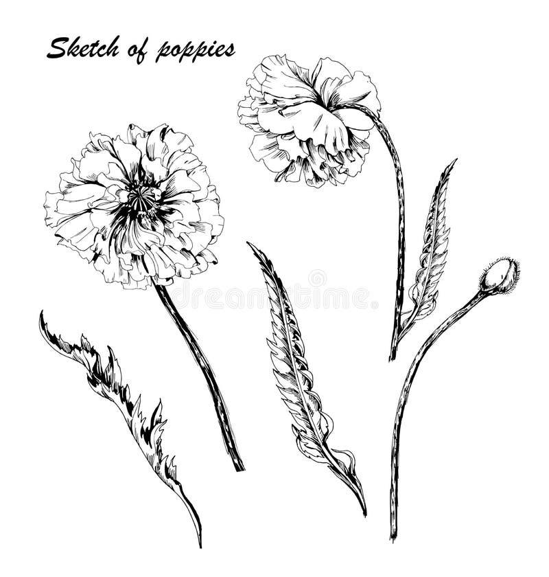 Hand getrokken papaverbloemen De stijl van de krabbel Vectorpoppy flower van Zwart-wit Contour Poppy Flower Elements voor Huwelij vector illustratie