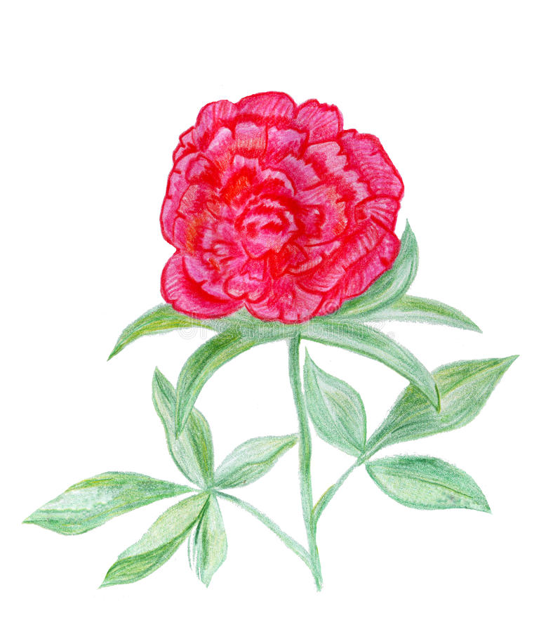 Hand getrokken pioenbloem royalty-vrije illustratie