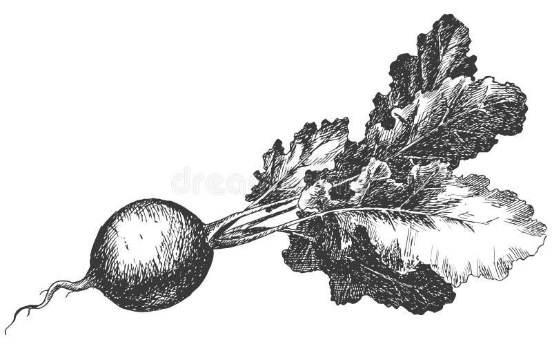 Hand getrokken radijs Verse natuurvoeding Rebecca 36 Vectorillustratieschets vector illustratie