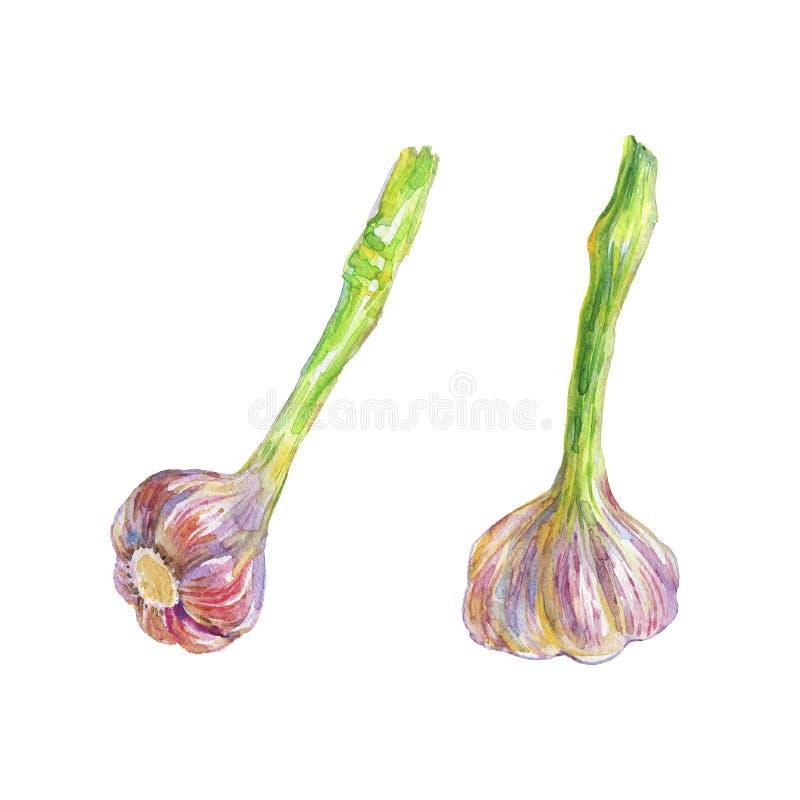 Hand getrokken reeks van knoflook op witte achtergrond De waterverf isoleerde verse groenten stock illustratie