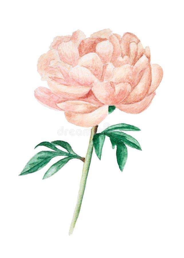 Hand getrokken roze die pioen op wit wordt geïsoleerd stock foto