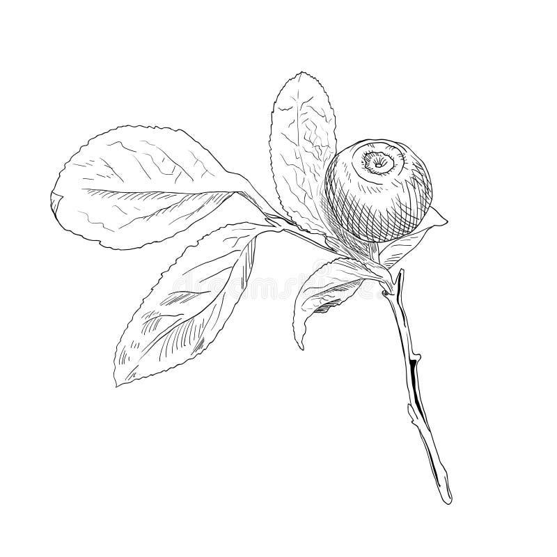 Hand getrokken tak van zwart-witte vectorbosbes stock illustratie