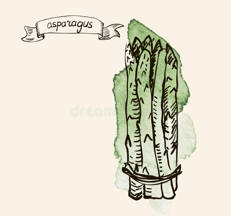 Hand getrokken uitstekende illustratie van asperge vector illustratie