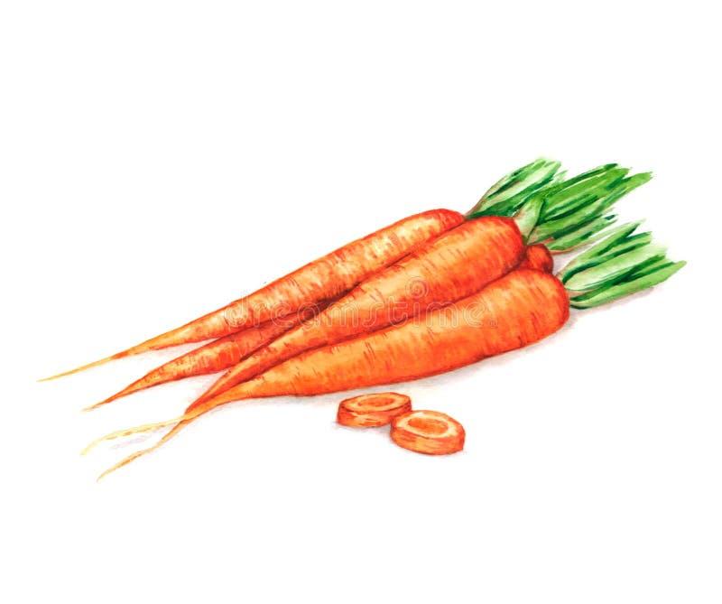 Hand getrokken waterverfillustratie van verse oranje rijpe wortelen Geïsoleerd op de witte achtergrond stock illustratie