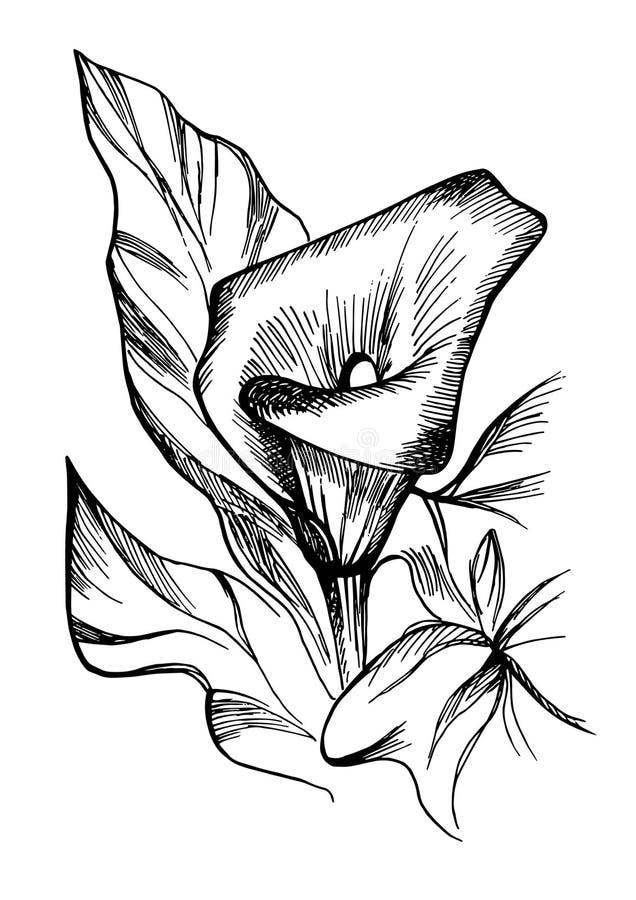 Hand getrokken zwart-witte bloeiende callas bloemen stock illustratie