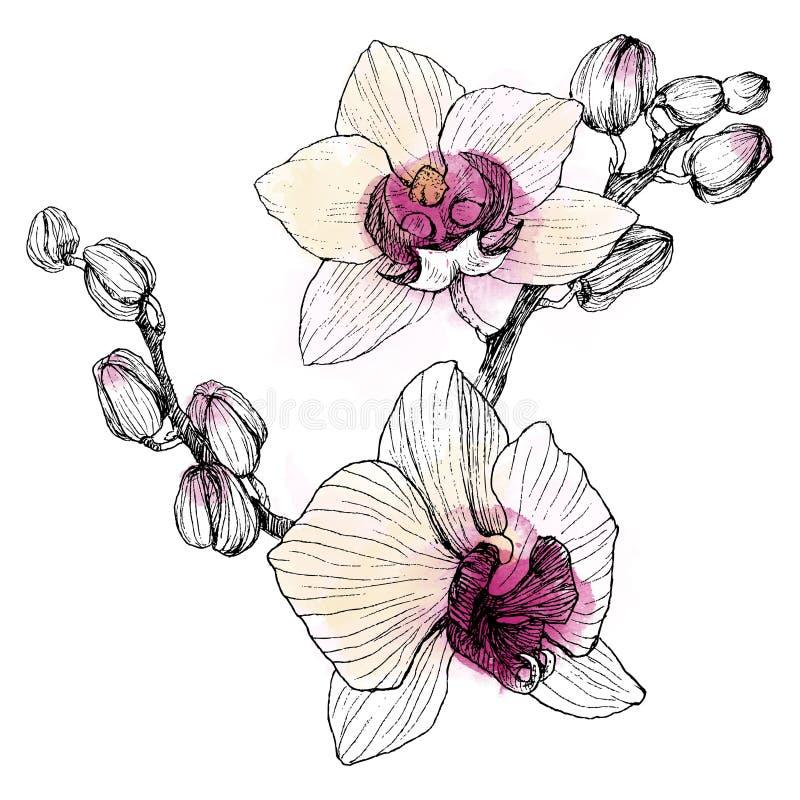 Hand getrokken zwarte overzichtsorchidee op een witte geïsoleerde achtergrond Hoogst gedetailleerde illustratie met waterverf Moo royalty-vrije illustratie