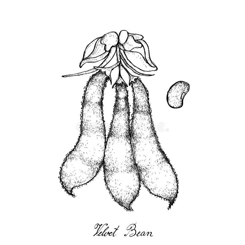 Hand gezeichnet vom Samt Bean Pods auf weißem Hintergrund stock abbildung