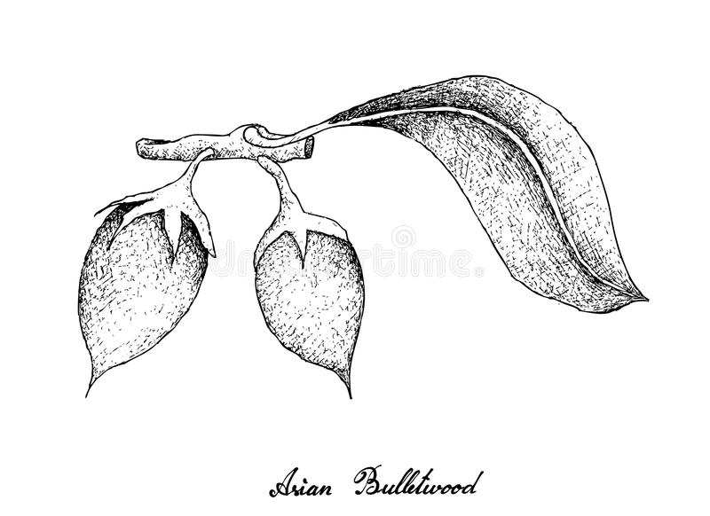 Hand gezeichnet von Asiat Bulletwood-Früchten auf weißem Hintergrund stock abbildung