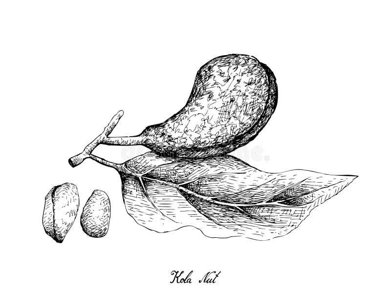 Hand gezeichnet von Kola Nut Fruits auf weißem Hintergrund stock abbildung