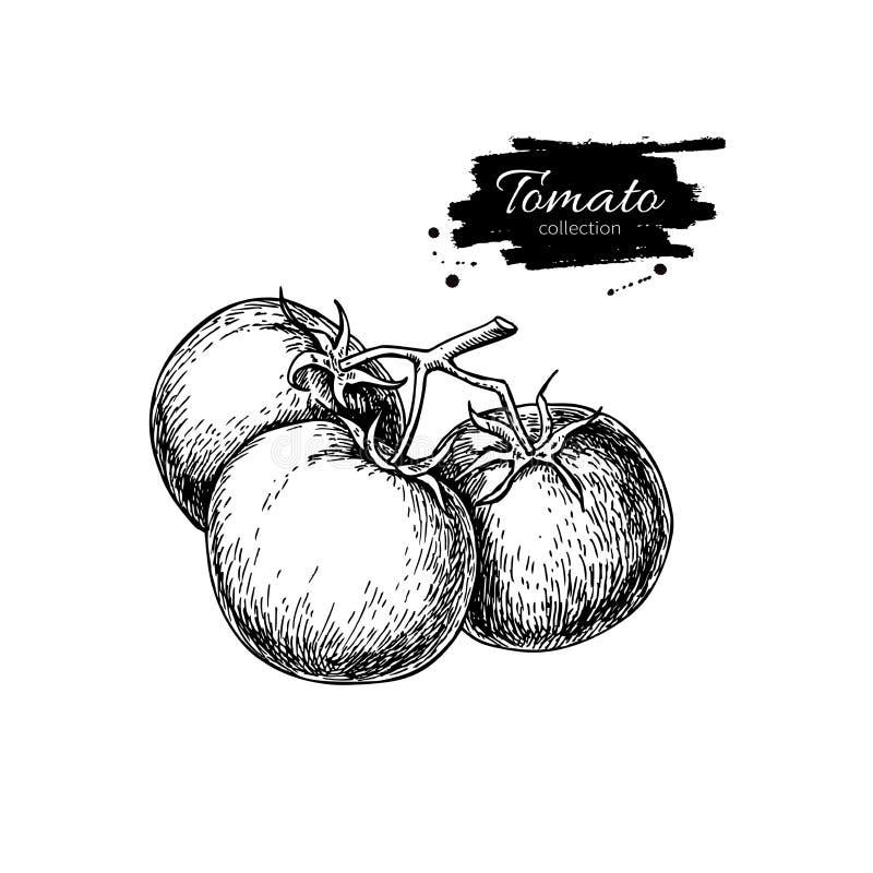Hand gezeichnete Abbildung Lokalisierte Tomaten auf Niederlassung lizenzfreie abbildung