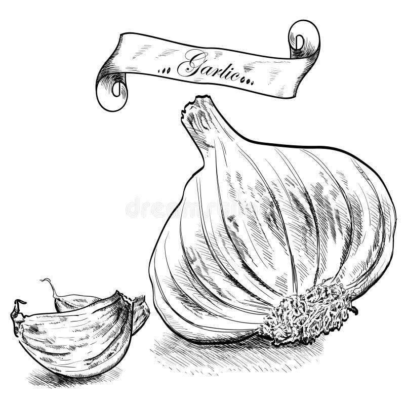 Hand gezeichnete Illustration mit dem Knoblauch lokalisiert stock abbildung