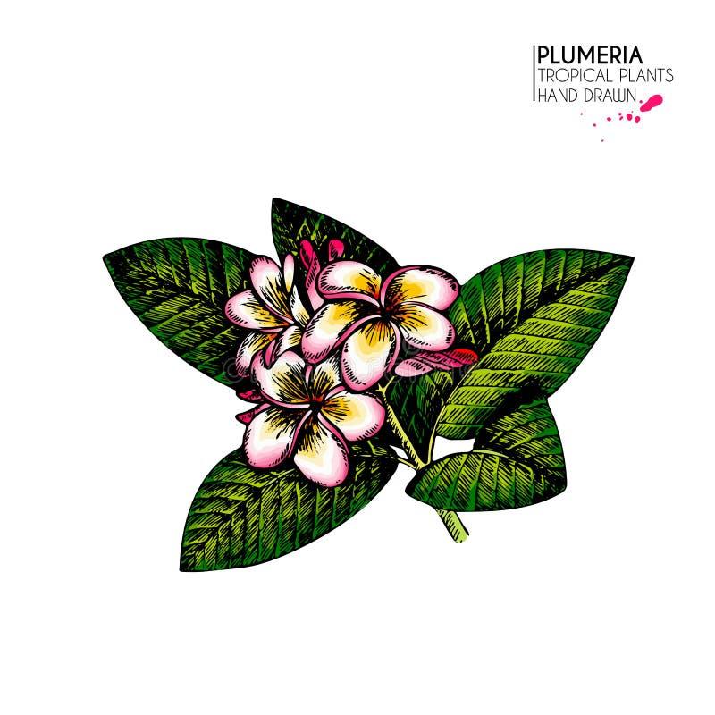 Hand gezeichnete Plumeria Frangipaniblume Farbige Illustration des Vektors Havaiian Blume des exotischen Sommers Satz von tropisc stock abbildung