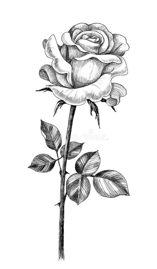 Hand gezeichnete Rose mit Blättern lizenzfreie abbildung