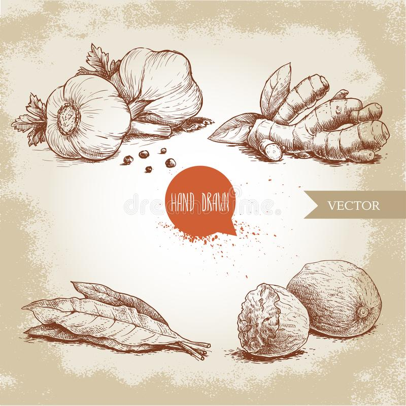 Hand gezeichnete Skizzengewürze eingestellt Knoblauchzusammensetzung mit Petersilie, Ingwerwurzel, Lorbeerblättern und Muskatnüss lizenzfreie abbildung