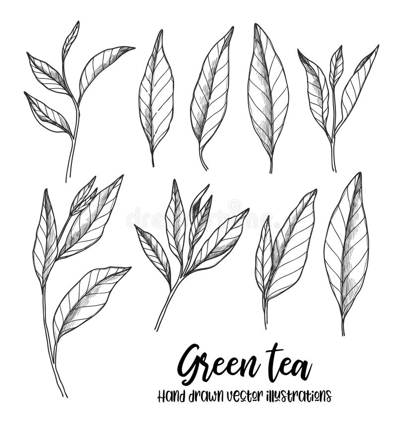 Hand gezeichnete Vektorillustrationen Satz grüne Teeblätter kräuter lizenzfreie abbildung