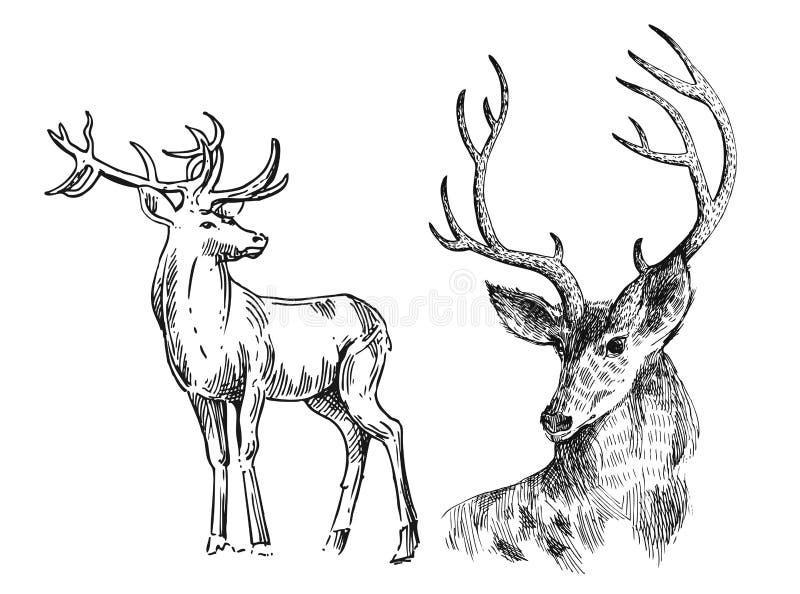 Hand gezeichnete Vektorillustrationsskizze von Rotwild lizenzfreie abbildung