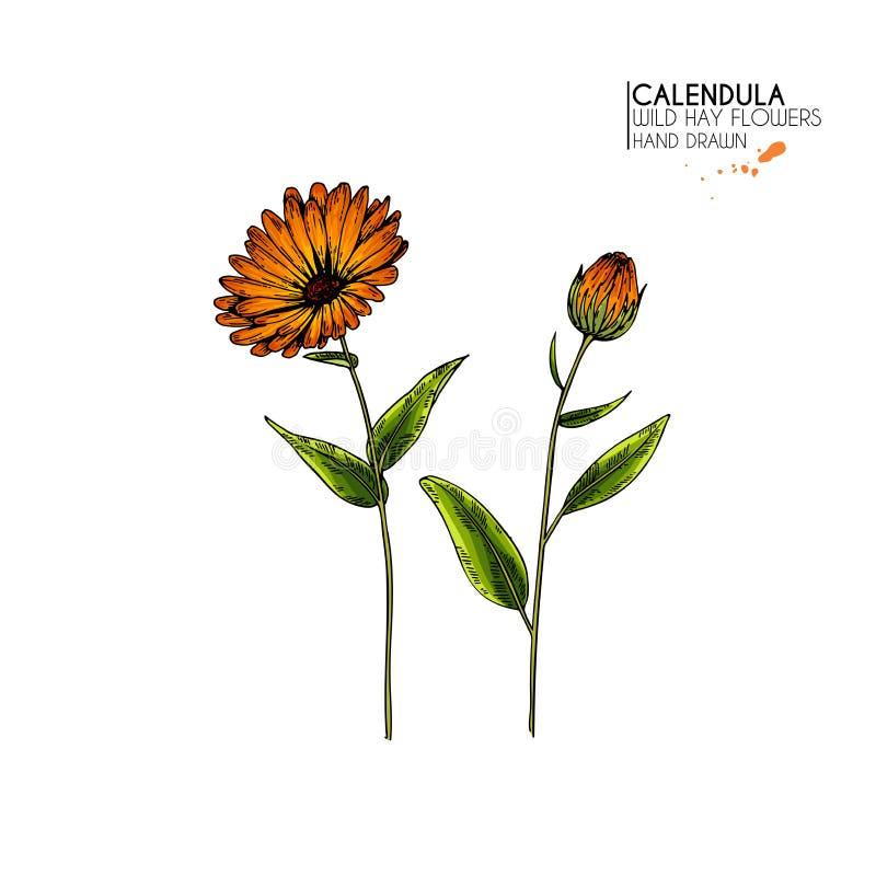 Hand gezeichnete wilde Heublumen Vektor farbige Calendulablume Medizinisches Kraut Weinlese gravierte Kunst Botanische Illustrati lizenzfreie abbildung