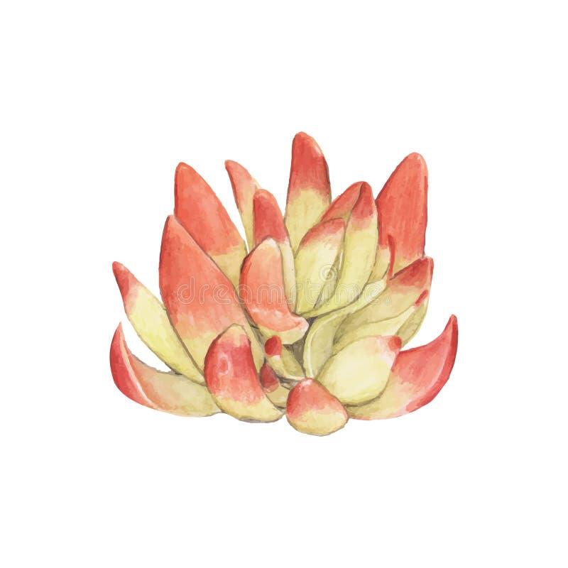 Hand gezeichneter Crassula capitella Succulent lizenzfreie abbildung