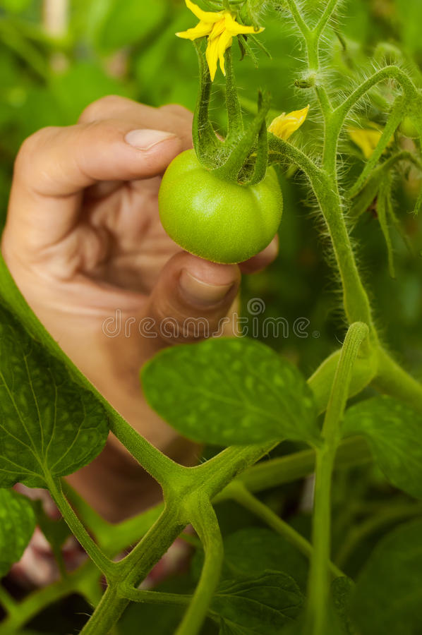 Girl`s hand near the unripe tomatoes with a yellow flower royalty free stock image
