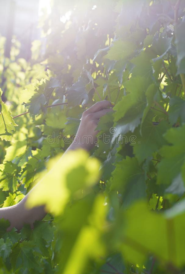 The hand of a girl picking grapes. Collecting grapes. Vine. The glare of the sun. Vine leaves in the sune hand of a girl picking royalty free stock images