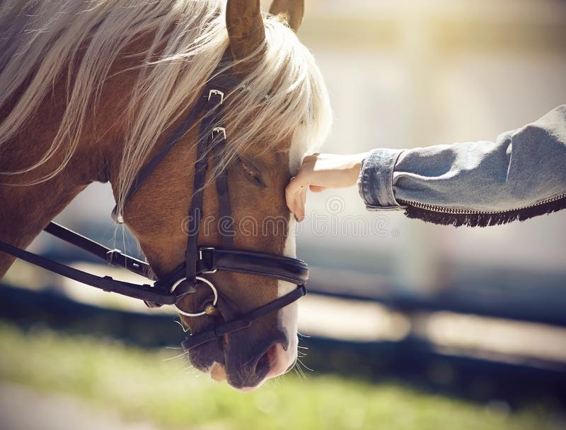 The hand of a girl stroking the face of a horse with a long beige mane. The hand of a girl in a denim jacket stroking the face of a beautiful horse with a long stock image