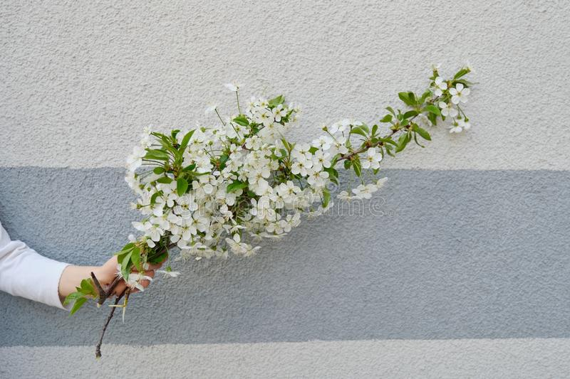 Hand girl with white flowers blooming cherry branch, gray wall background.  stock photo