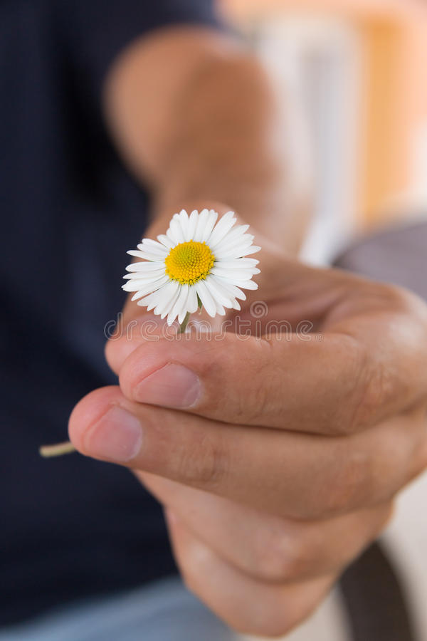 Hand gives a small camomile or daisy flower as a romantic gift. Summer morning in the country village stock images