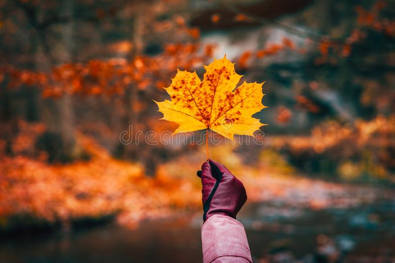 Hand in glove holding a golden yellow maple leave against defocused autumn forest with river stock image
