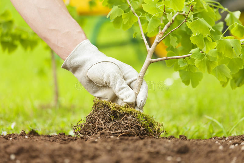 Hand with glove Planting Small Tree with roots. In a garden on green background stock photo