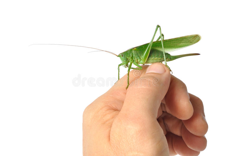 Hand with Grasshopper royalty free stock photos