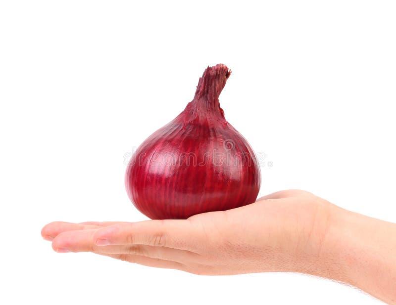 Hand hält rote Zwiebel. lizenzfreie stockbilder
