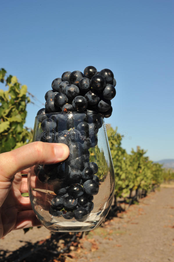 Hand hält Weinglas mit Trauben an stockfotos