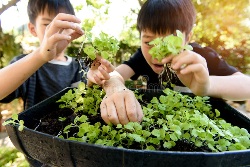 Hand harvesting green plant. Selective focus at young asian boy hand pick and harvest little seedling of vegetable from black soil in home garden royalty free stock images