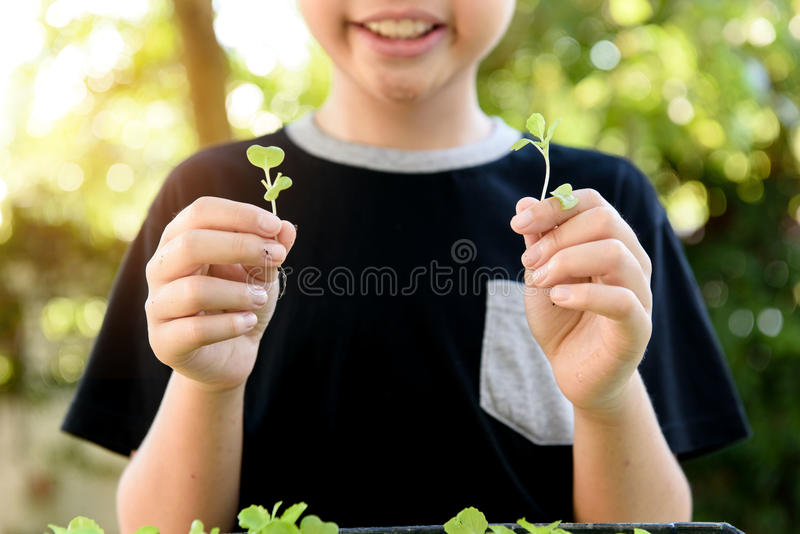 Hand harvesting green plant. Selective focus at young asian boy hand pick and harvest little seedling of vegetable from black soil in home garden royalty free stock photos