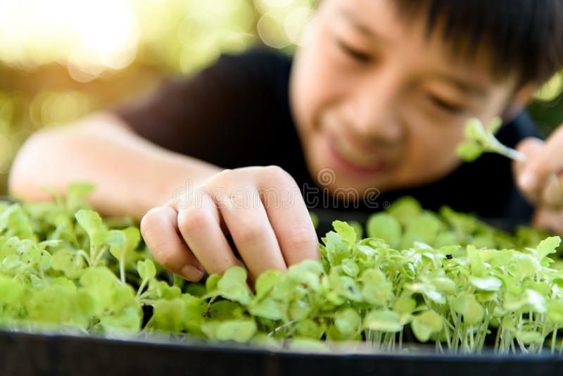 Hand harvesting green plant. Selective focus at young asian boy hand pick and harvest little seedling of vegetable from black soil in home garden royalty free stock photography