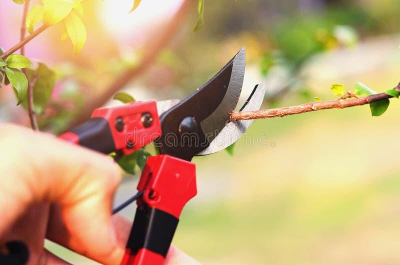 hand het snoeien boom en het snoeien scheerbeurt in tuin met zonsondergang backgr royalty-vrije stock fotografie