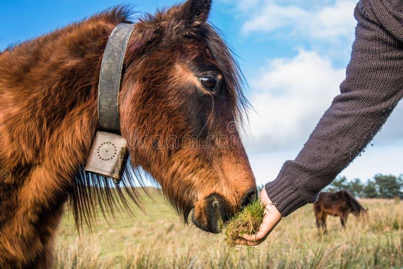 Hand het voeden wild paard pottok in mooi natuurlijk landschap, Baskisch land, Frankrijk stock foto's