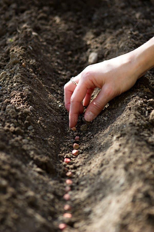 Hand het zaaien zaden van erwten om bed te bloeien stock foto's